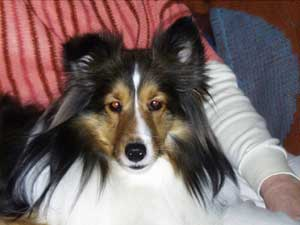 "Original Photo of Sheltie ""Tori"""